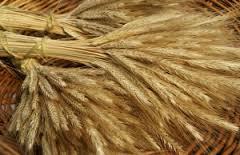 barley.jpeg